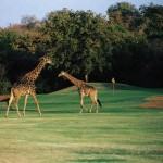 01 Giraffes on Golf Course South Africa 150x150 South African Tourism Pics