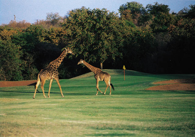 01 Giraffes on Golf Course - South Africa