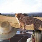 02 Cheetah on Hood of Car - South Africa