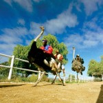 07 Ostrich race South Africa 150x150 South African Tourism Pics